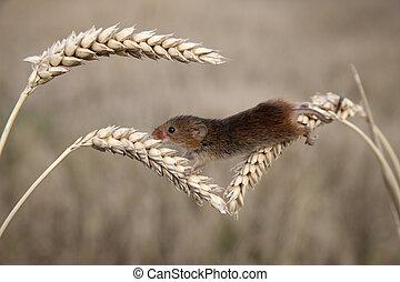 Harvest mouse, Micromys minutus, Corn heads, Midlands,...