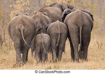Breeding herd of elephant walking away int the trees -...