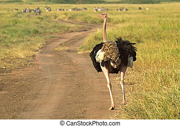 Male ostrich walking down a street - A male ostrich Struthio...