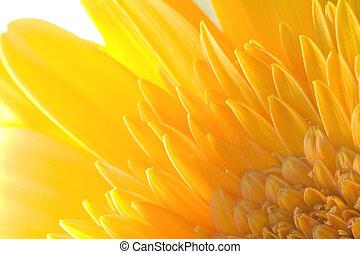 Ragdoll Sunflower background - Yellow ragdoll sunflower...