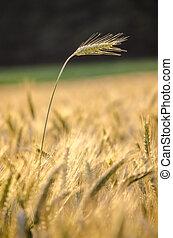 Wheat ear standing out of wheat field - Single wheat field...
