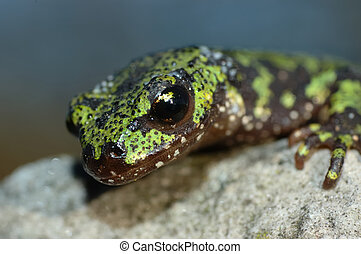 marbled newt - portrait of a marbled newt on a rock