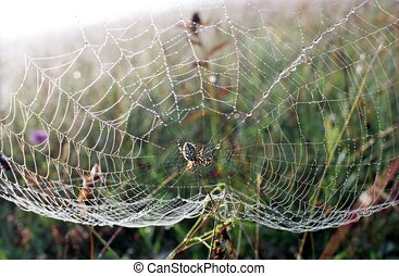 Spider waiting for prey dewy cobweb warm summer morning