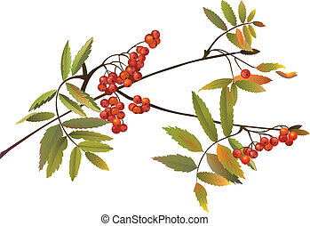 Rowanberries/Ash Tree - Red Rowanberries/Ash Tree in fall,...