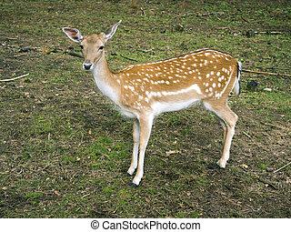 piebald deer calf in summer forest
