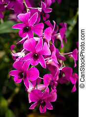Amethyst Butterfly Orchid - Nice banquet of Amethyst...
