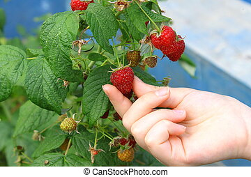 Hand hold ripening raspberry on the bush Close up