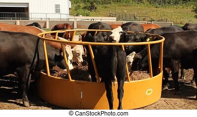 feeding cows - a herd of cows eating at a feeding station