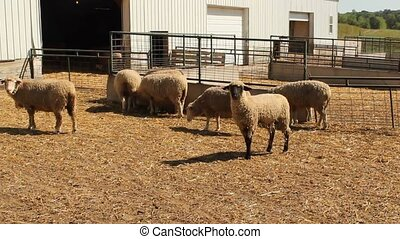 sheep - several mature sheep inside a fenced barnyard