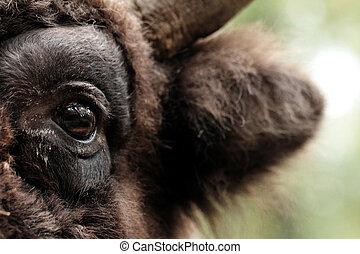 Bison eye - European bison (Bison bonasus)  - eye close up