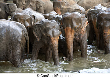 Elephant herd in river - Indian elephants in a river,...