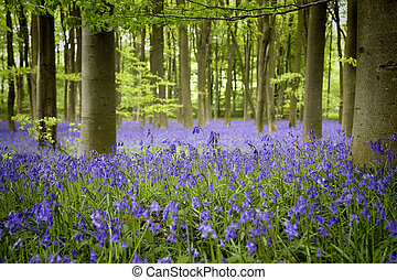 Bluebell wood - A carpet of bluebells in woodland,...