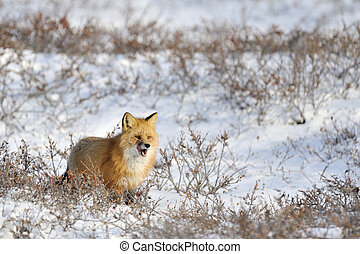 Red fox standing in snow at tundra