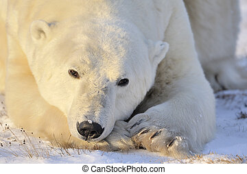 Polar bear portrait.