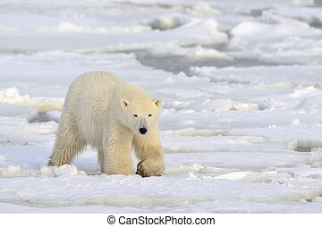 polarny, Niedźwiedź, pieszy, pack-ice