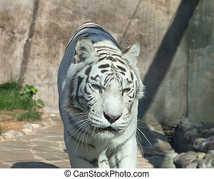 White Bengal Tiger, Moscow zoo. Russia