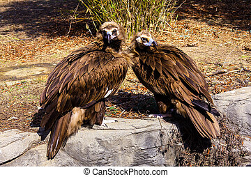 Cinereous Vultures - Mating pair of  Cinereous Vultures