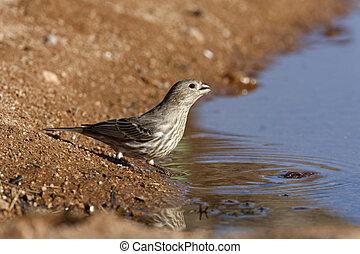 House finch, Carpodacus mexicanus, female, Arizona, USA,...