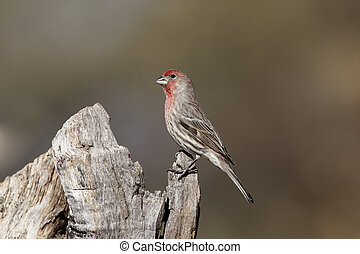 House finch, Carpodacus mexicanus, male, Arizona, USA,...