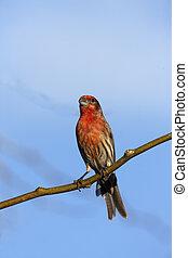 House finch, Carpodacus mexicanus, male, Arizona, USA,...