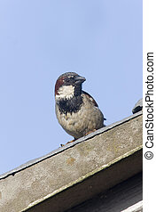House sparrow, Passer domesticus, male, Scotland, summer...