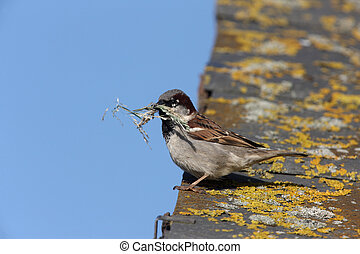 House sparrow, Passer domesticus, male with nest material,...