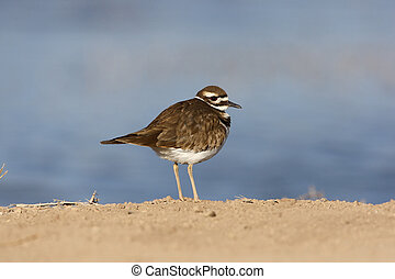 Killdeer, Charadrius vociferus, New Mexico, USA, winter...