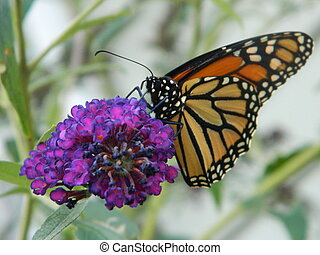 Monarch Butterfly on Purple Flower - ~butterfly on purple...