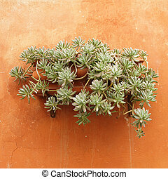 succulent plant hanging in ceramic pot on wall, Italy,...