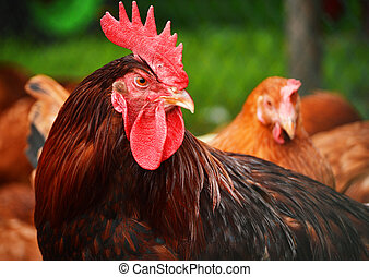 Rooster in traditional free range poultry farming