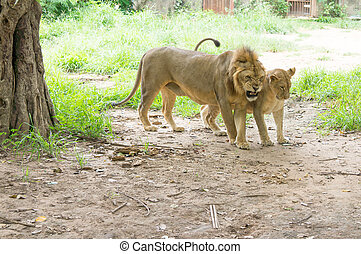 Two lion