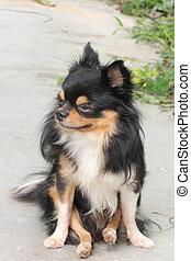 Long Coat Chihuahua - Long coat chihuahua sitting