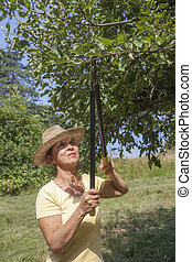 Woman trimming the apple tree - Woman gardener with straw...