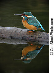 Kingfisher, Alcedo atthis, Single bird on log with...
