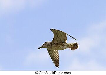 juvenile larus argentatus - juvenile gull larus argentatus...