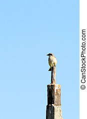lanius collurio standing on top of a wooden pile