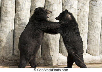 American Black Bear Fighting - American black bear in the...