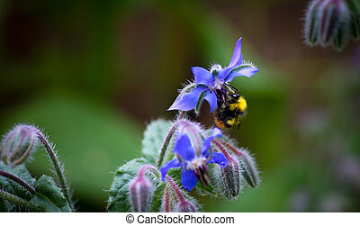 Bumble Bee pollinating Starflower (Borago officinalis)...