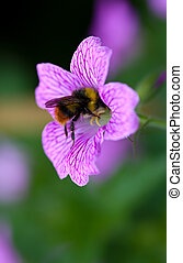 Bumble bee in Endres cranesbill Geranium endressii - Bumble...