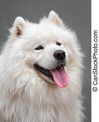 Portrait ofl dog - Samoyed - Portrait of a beautiful dog...