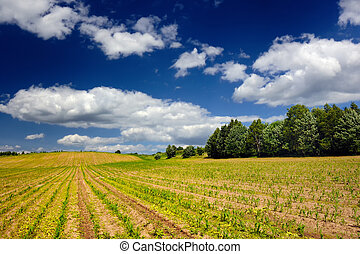 Corn Field in Early Summer - A corn field under a beautiful...