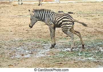 Baby zebra standing urination - Baby zebra is standing on...