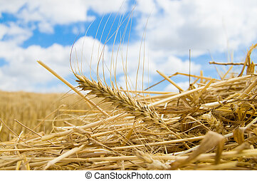 ear of wheat on a straw