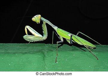 Praying Mantis on green wall. - Praying Mantis, Calypso,...