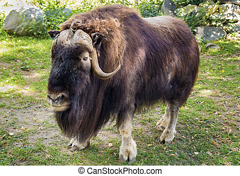 Muskox in Moscow zoo.The muskox is an Arctic mammal of the...