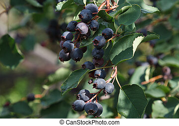 Saskatoon Berries - bunch of ripe dark blue berries...