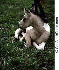 Horse-Colt G-2244 - 2 week old colt (Paint) laying on the...