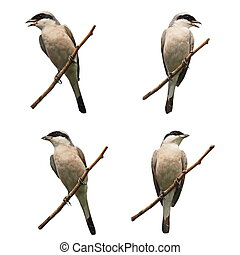 Set Red backed Shrike isolated
