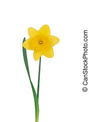 Yellow narcissus on a white background