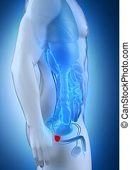 macho, próstata, anatomia, lateral, vista